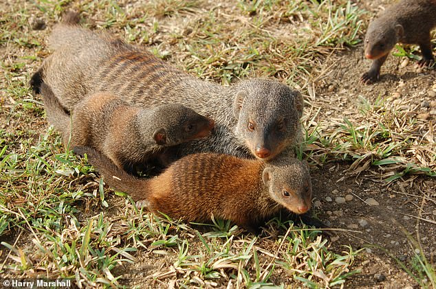 Looking out for each other: Mongooses have evolved into a 'fairer society' because mothers can't tell which pups are their own, forcing them to help the most 'needy', researchers claim