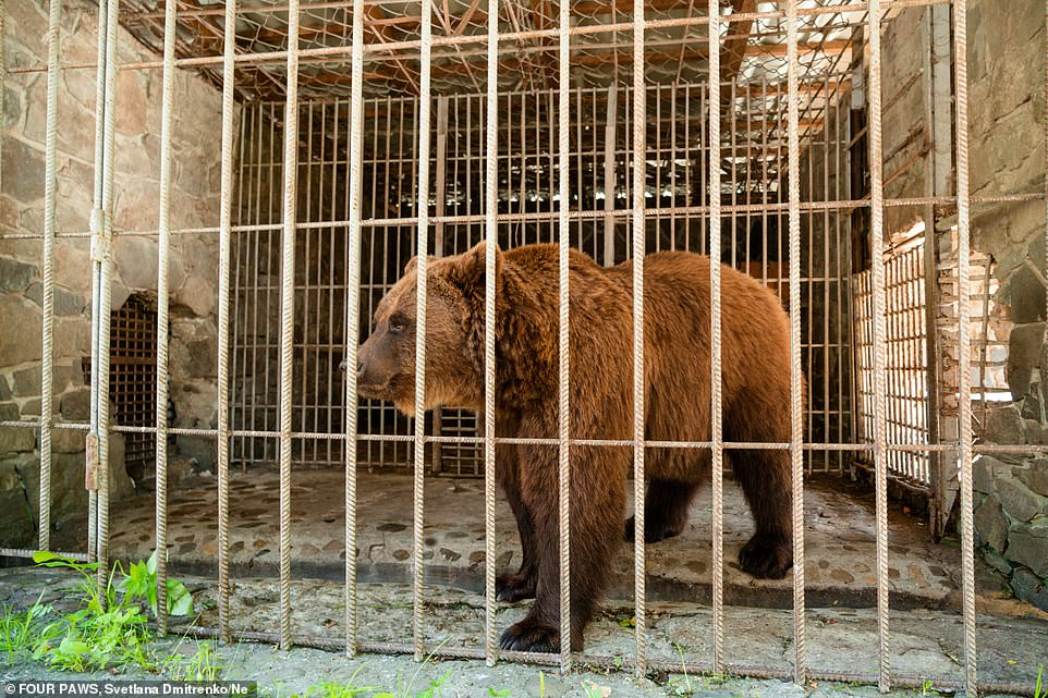 Director of FOUR PAWS Ukraine Taras Boiko disagrees with the currents laws and believes that bears need to move around, explore and swim in natural surroundings