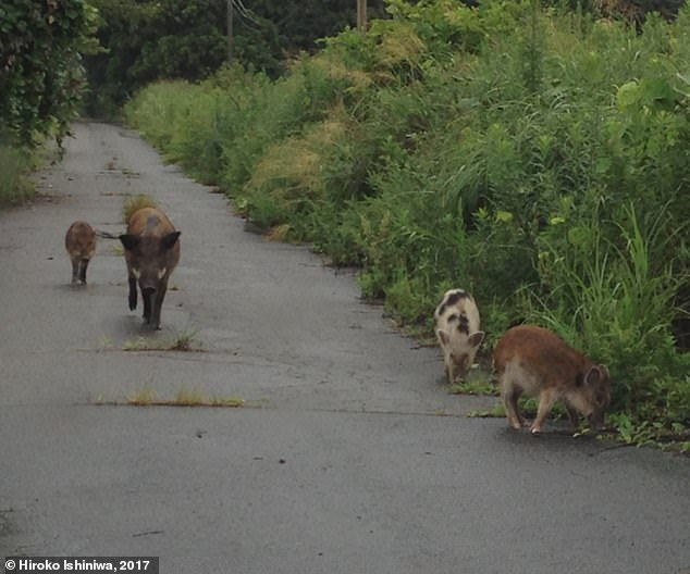 Rare spotted wild boar observed inside the evacuated area of Fukushima, Japan, indicative of the 'introgression' -the transfer of genetic information from one species to another - with domestic pigs