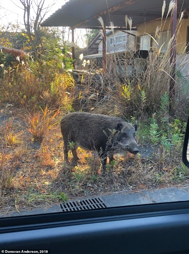 Photo taken by Anderson from inside a vehicle shows a wild boar inside the mandated evacuation zone in Fukushima, Japan