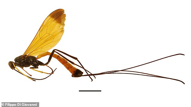 Researchers have discovered a new species of wasp in South America that they have nicknamed a 'flying jewel'