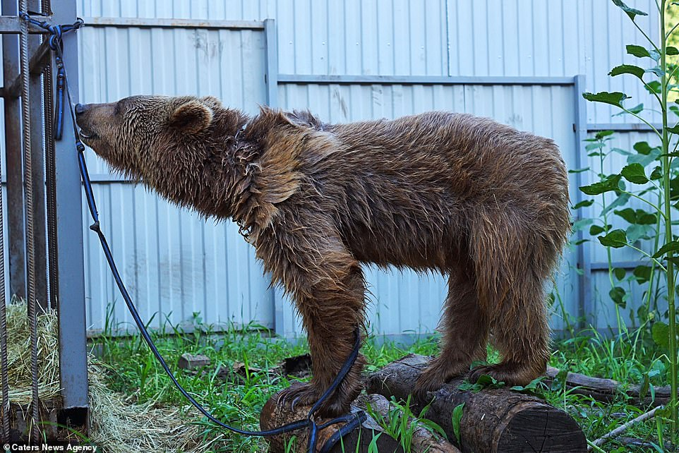 Balu lives in an enclosure put together by his owner Ruslam, who spends time with the bear every day