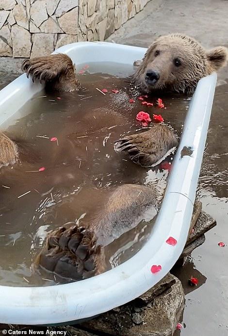 Anna Prigorodova, friend of the bear's owner Ruslam Tsyvilev, said Balu likes to take a bath every day