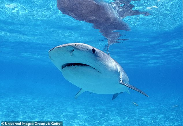 Tiger shark (pictured). Tiger sharks were active in midday, peaking around 12 pm