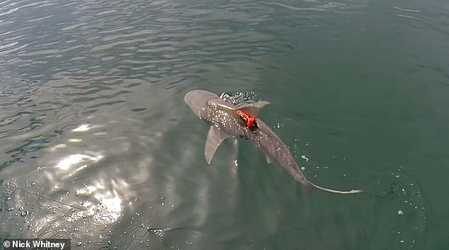 A bull shark equipped with an acceleration data-logger swimming after release
