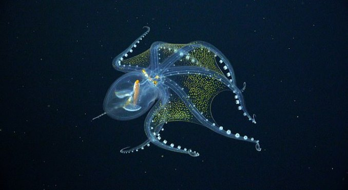 Glass Octopus Which Has Transparent Skin And Visible Organs Caught On  Camera In The Pacific Ocean - Todayuknews