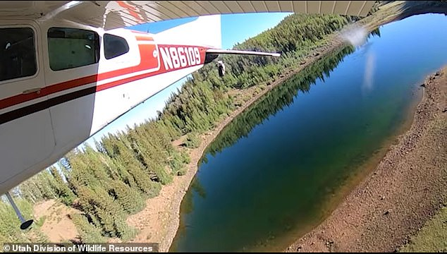 Aerial fish stocking has been used in Utah since the 1950s.In the past, horses were loaded with metal milk cans filled with water and fish and trotted out to the high-altitude waterways
