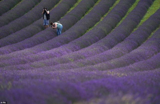 The incoming warmth is thanks to 'The Azores High', a large subtropical semi-permanent centre of atmospheric pressure which drags tropical weather up from the coast of Africa. Pictured:Locals walking through lavender fields in Sussex