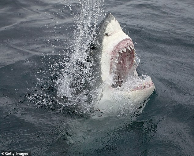 Just over two percent of the known 548 species of sharks have been known to attack humans, but three - bull sharks, great whites (pictured) and tiger sharks - are responsible for a great majority of them