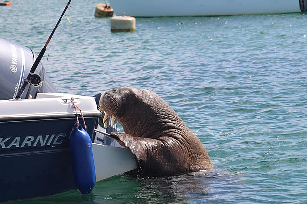 James Stedeford, who runs boat trips taking tourists to view wildlife, is said to have reacted in anger after his dinghy was tipped over by the 2,000lb sea creature