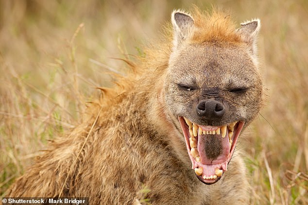 Earlier studies have looked at the social structure of hyenas and other animals, but this new work analysed 27 years of detailed observations of hyena behaviour