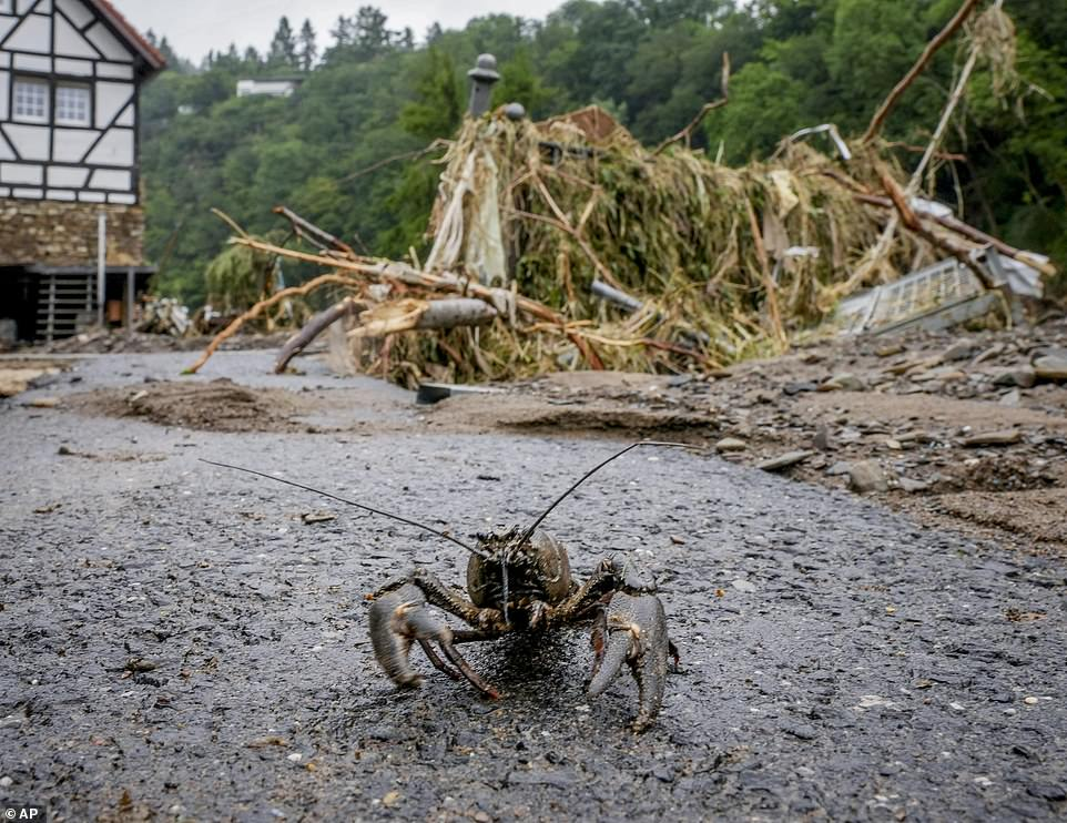 A lobster walks down the street in Schuld, Germany, after it was washed into the town on floodwaters that inundated the river