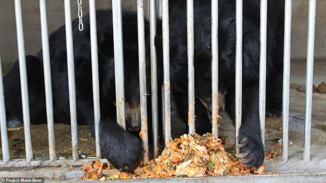 Powell says that the bears are a 'significant drain of money' for many of the owners, who treat them more like waste bins, feeding them leftover scraps