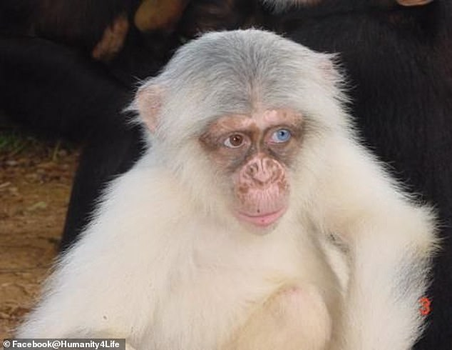 A number of other chimps bit the fingers, leg, and ears of the screaming infant that was eventually taken by an adult female who gnawed on its head - putting an end to the baby's life. Pictured is a stock of an albino chimp
