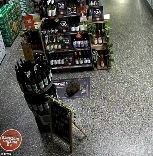 The spiky invader broke into the Kyogle BWS in northern NSW last week, immediately embarking on a path of mass destruction