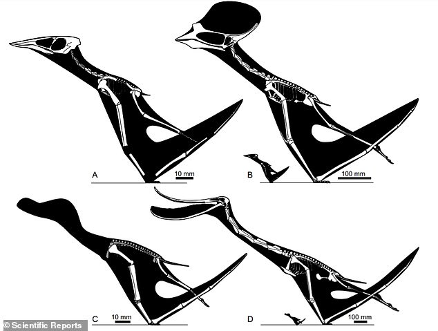 Skeletal restorations of pterosaurs (young and adults) used in the study.  (A) Sinopterus dongi hatchling;  (B) S. dongi hatchling compared to adult;  (C) Pterodaustro guinazui hatchling;  (D) P. guinazui hatchling compared to adult