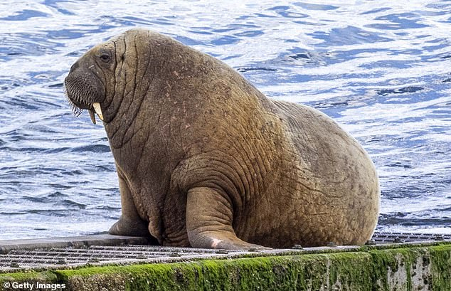 Locals in the Isles of Scilly have been warned to stay away from Wally the walrus as the high temperatures 'challenge' him