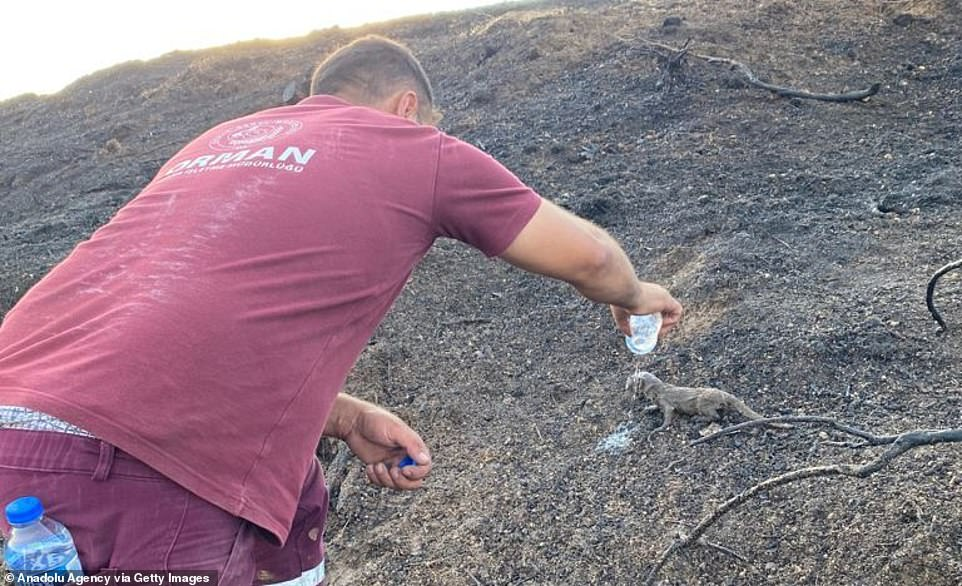 A rescue worker pours cool water over a weasel cub after it was rescued from a raging forest fire in southern Turkey