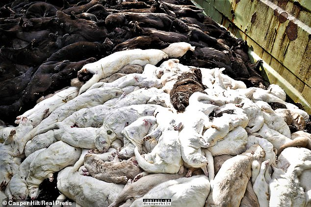 This is the same organization that found SARS-CoV-2 was spreading to wild mink last year, which resulted in millions of these animals being killed worldwide – will Denmark eradicating 17 million alone