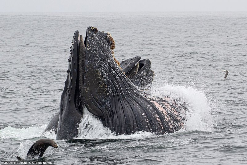 Whale watchers off the coast in Monterey Bay, California, enjoyed the sight of four huge humpback whales feasting on fish just feet from their boat