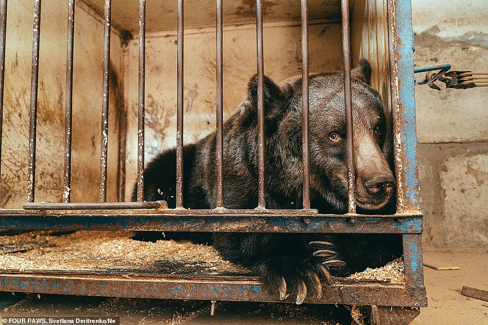 Jambolina, a 12-year-old European brown bear, lived for more than a decade inside this cage at a Ukrainian circus before being rescued and taken to a Swiss Alps reserve