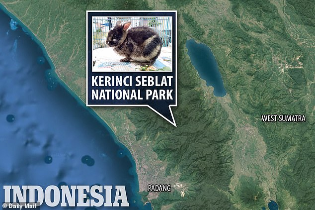 An anonymous tipster saw the rabbit was to be sold and contacted Kerinci Seblat National Park authorities, who rescued the rabbit. The rabbit was held, analyzed and eventually released into the wild at Kerinci Seblat National Park