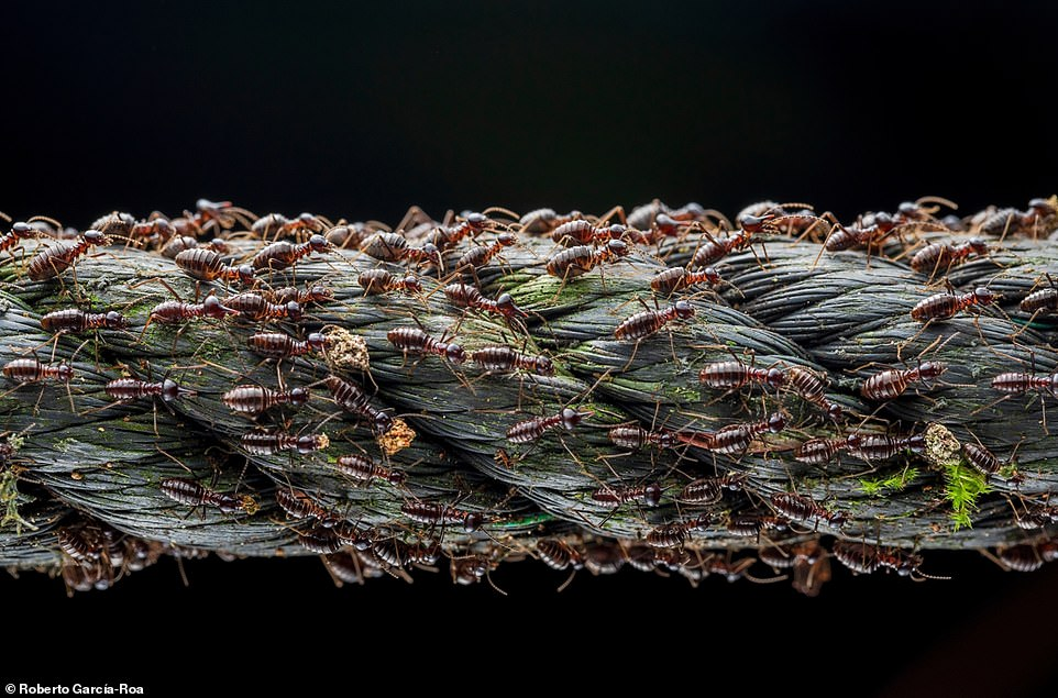 Pictured, thousands of soldier termitesmigrating along a length of abandoned rope in a Malaysian forest. The shot was the winner in the 'population ecology'category