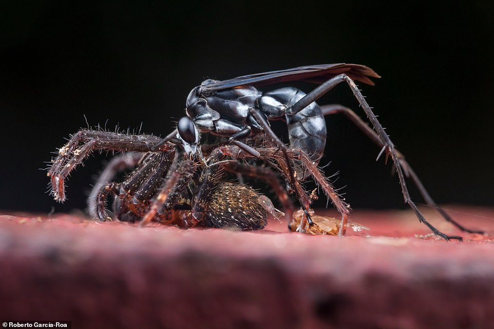An 'epic scene' showing a battle betweena wasp and its much larger spider prey in Tiputini, Ecuador. The shot wonbest image for 'behavioural ecology'