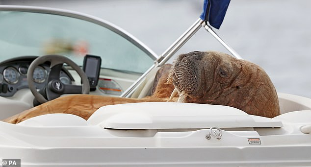 The lonely walrus is believed to be from Svalbard, north of Norway, and has been on a 4,000km solo trip for months