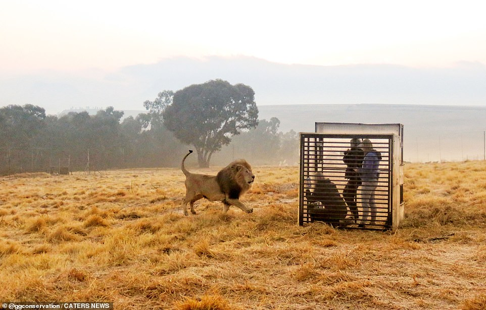 The GG lion sanctuary in Harrismith, South Africa, allows visitors to stand within a photography cage to see the stunning African lions in a safe and humane way