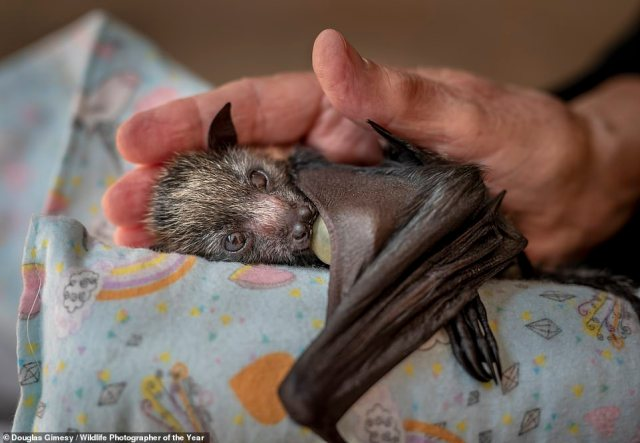 Australian photographer Douglas Gimesy is highly commended in the Photojournalism category for this heart-warming image of an orphaned flying-fox pup sucking on a dummy and being cradled in the hand of a wildlife carer. The Natural History Museum reveals that she was three weeks old when she was found on the ground in Melbourne and taken to a shelter. Grey‑headed flying-foxes, a type of megabat endemic to eastern Australia, are threatened by heat-stress events and destruction of their forest habitat – where they play a key role in seed dispersal and pollination. They also come into conflict with people, get caught in netting and on barbed wire and electrocuted on power lines. At eight weeks, the pup will be weaned onto fruit, then flowering eucalyptus. After a few months, she will join a crèche and build up flight fitness, before being moved next to Melbourne's Yarra Bend bat colony, for eventual release into it