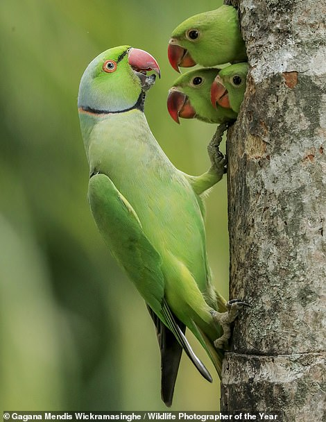 Three rose-ringed parakeet chicks pop their heads out of the nest hole as their father returns with food. Watching was 10‑year-old Gagana, on the balcony of his parents' bedroom, in Colombo, Sri Lanka. The hole was at eye level with the balcony, in a dead areca-nut palm in the backyard, which his parents had deliberately left standing to attract wildlife, reveals the Natural History Museum. It continues: 'In the spring of 2020, during the long days of the island-wide lockdown, Gagana and his older brother had hours of entertainment watching the parakeet family and experimenting with their cameras, sharing lenses and a tripod, always mindful that the slightest movement or noise would stop the chicks showing themselves. When incubating the eggs, the female stayed inside while the male foraged (for fruit, berries, nuts and seeds mainly), feeding her by regurgitating food. When Gagana took this picture, both parents were feeding the growing chicks. Only when they fledged did Gagana realise that there were as many as five chicks. Also known as ring‑necked parakeets, these medium-sized parrots are native to Sri Lanka, India and Pakistan as well as a band of sub‑Saharan Africa, but feral populations are now found in many countries including the UK. These are often found in urban settings, where they sometimes even breed in holes in brick walls'