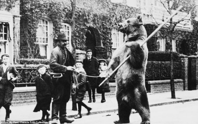 Holding a stick in the crook of its paw, a muzzled bear stands on its hind legs as it 'dances' for Londoners. The heart-breaking image, which was taken on a street in Holborn in 1895, shines a light onto a practice which was carried out for the enjoyment of spectators for hundreds of years until it was finally outlawed in 1911