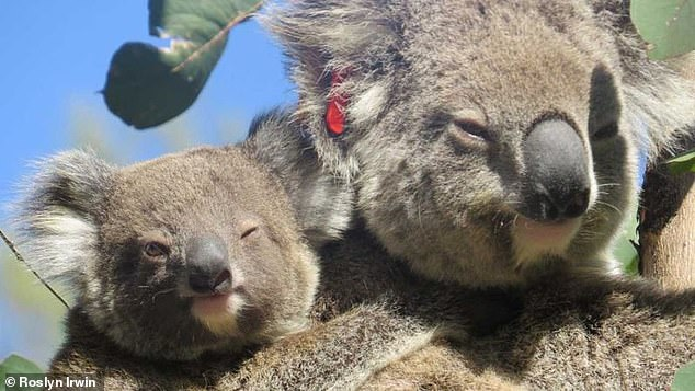 Ember (pictured) was spotted by the woman who rescued her, former president of Friends of the Koala Roslyn Irwin