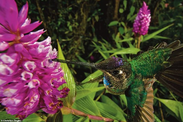 This action shot shows ahummingbird pollinating the flower of an orchid in the cloud forest of western Panama. Ziegler explains: 'You can see the purple pollen packet attached to the tip of its beak.' This image features in a chapter on orchids and their pollinators