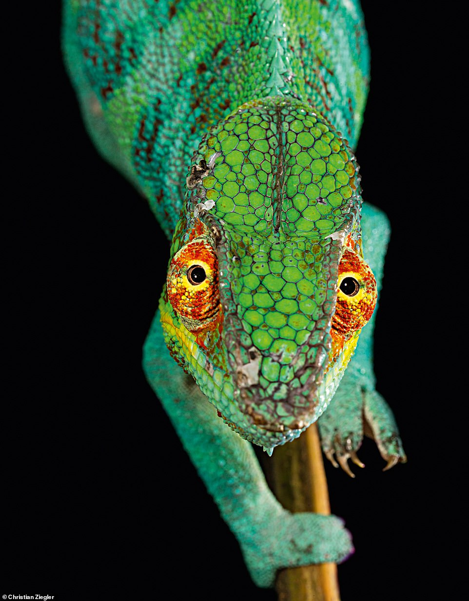 According to Ziegler, the blue morphotype of panther chameleon that's pictured in this stunning image is very rare in the wild due to exploitation by the exotic pet trade. The book explains how this particular species isendemic to the area around Ambanja, a city in northern Madagascar