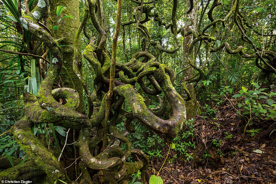A complicated tangle of lianas (a woody vine) grows on the slopes of Mount Kinabalu in the state of Sabah, Malaysia, in this image. The book explains: 'Lianas exploit the trees. These vines climb up tree trunks and over branches, using the structure of the trees to put their own leaves above the canopy'