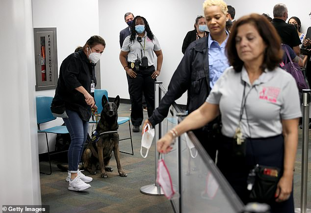 PICTURED: Cobra, a Belgian Malinois, prepares herself to sniff airport employees' masks for the scent of COVID-19 at Miami International Airport