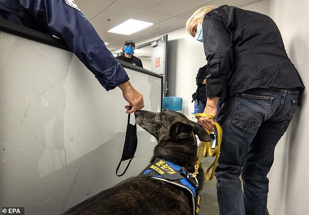 PICTURED:COVID-19 sniffing canine One-Betta, screens airport workers at an employee checkpoint before they enter the secured area of the Miami International Airport