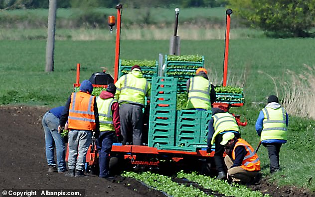In March last year, the environment secretary, George Eustice, launched the Pick for Britain campaign as he urged farms to 'mobilise the British workforce' to fill the gap left by EU workers, but it was deemed largely unsuccessful