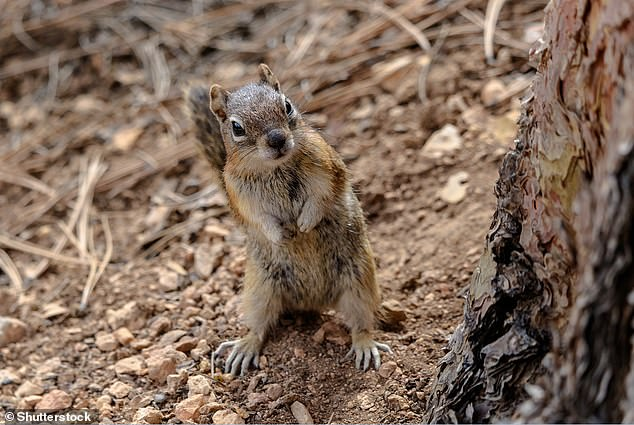 Thegolden-mantled ground squirrel (Callospermophilus lateralis) is often mistaken for a chipmunk due to its appearance. It hasgrayish-brown fur on top with two white stripes bordered by black stripes on its sides