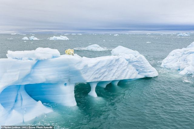 Perched on an iceberg, a polar bear keeps its eyes peeled for seals in this breathtaking image. Photographer Florian Ledoux is behind the photo, which was captured in Svalbard, Norway, and earns Ledoux a highly commended in the Wildlife category