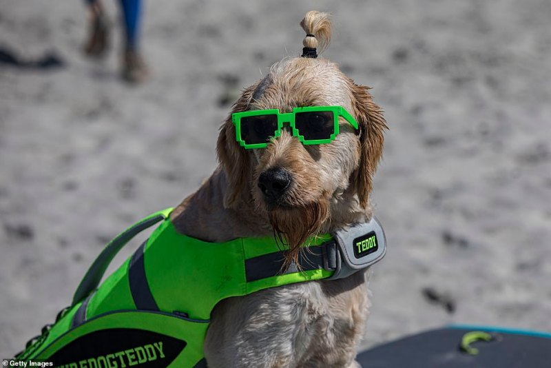 Surfing dog Teddy waits for his turn to compete at the 16th Annual Surf Dog Surf-A-Thon