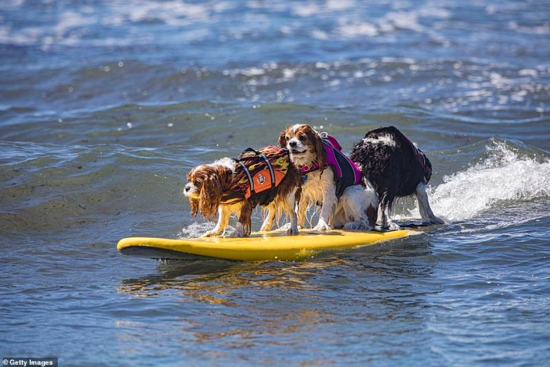 Surfing dogs compete at the 16th Annual Surf Dog Surf-A-Thon