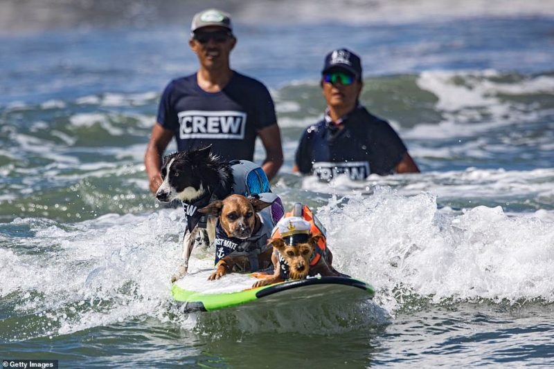 Three dogs surf together during Sunday's competition