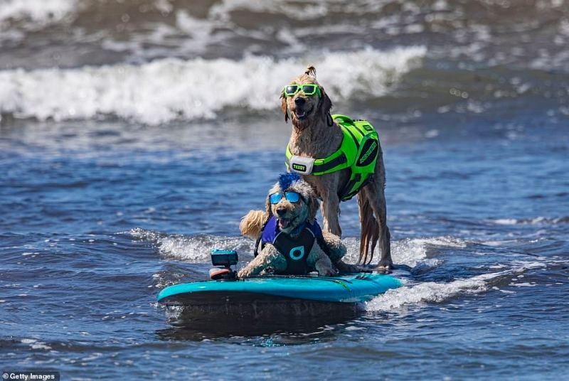 Surfing dogs Derby (L) and Teddy compete at the 16th Annual Surf Dog Surf-A-Thon