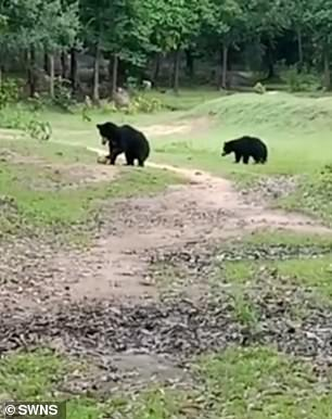 Incredible video footage, taken on September 12, shows the two black bears deciding to have some fun of their own as throw the ball around before running away with it