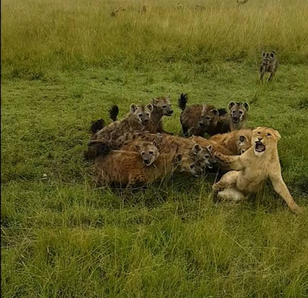 This is the moment the hyenas bring down and attempt to kill the lone lioness