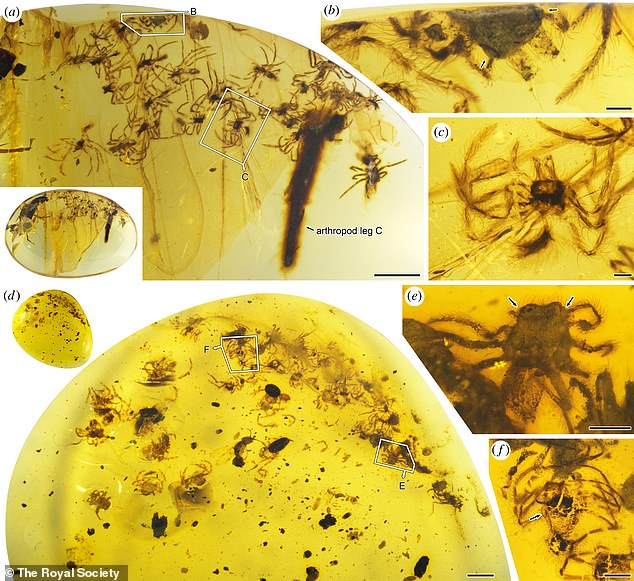 In another piece, the team counted 24 tenacious spiders, most of which are deformed and broken from what happened when they were preserved.  and the other 26 got with the spider and the other 34
