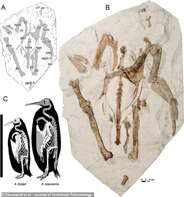 The time when  If Waweroa was alive, during what geologists call the Oligocene epoch, much of New Zealand's Waikato region would have been under water.  Image: fossil remains of K. waewaeroa (right, top left with an illustration) and a size comparison with a modern-day emperor penguin, Aptenodytes forsteri (bottom right)